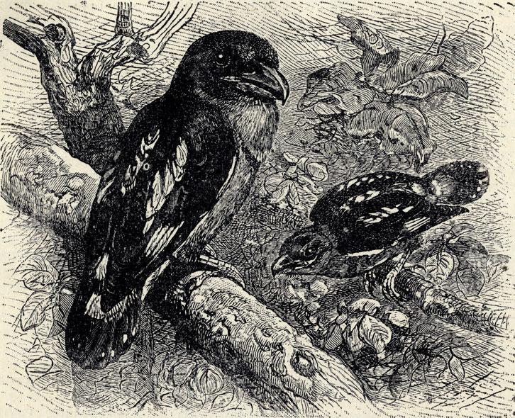 Амазонская зонтичная птица