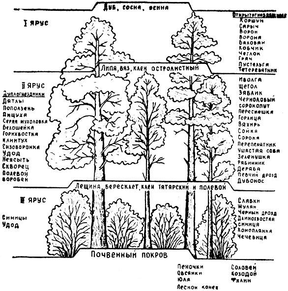 Схема ярусов тропический лес.