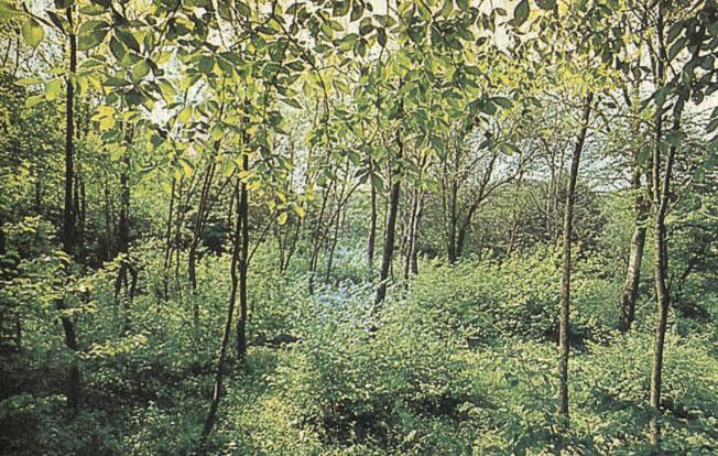 Садовая славка гнездится чаще всего по опушкам светлых лиственных с густыми куртинами кустарников лесов. Фото Г. Н. Симкина