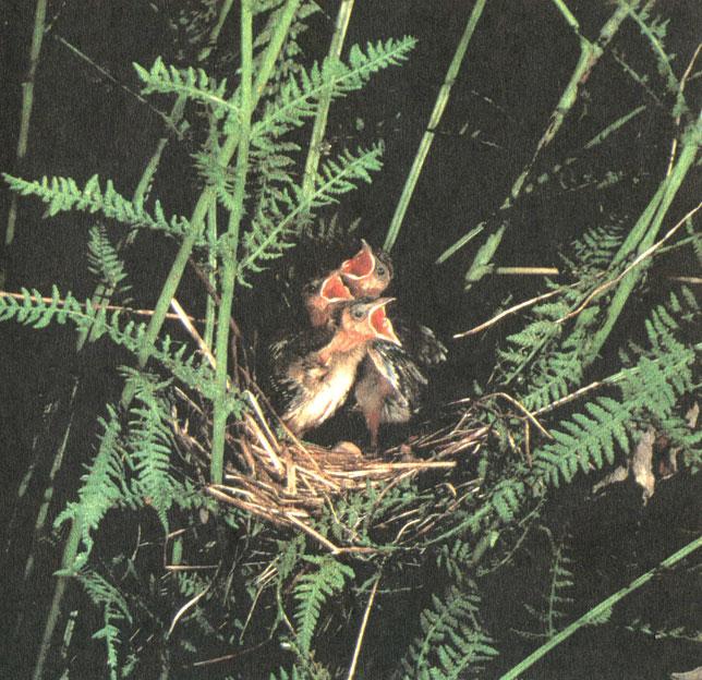 Гнездо садовая славка строит в невысоких кустарниках, часто среди густой травы; иногда в кустах папоротника. Гнездо сплетает из корешков, сухих травинок, лоточек выстилает корешками и конским волосом. Дно и бока гнезда просвечивают насквозь, обеспечивая нормальную вентиляцию кладки даже под насиживающей птицей. Фото М. В. Штейнбаха